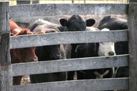 Cattle in pen
