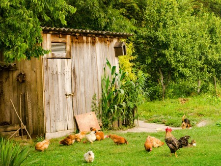 Photo of an old building with chickens running around