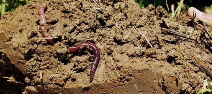 An earthworm in soil