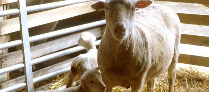 White-face ewe with lambs