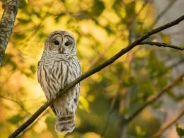 A photo of a barred owl sitting in a tree. Photo by I Stock