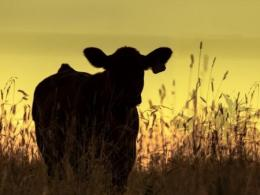 Calf standing in pasture at sunset