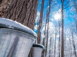 CFAES is sponsoring its annual Ohio Maple Days program at three locations in January. (Photo: Getty Images.)