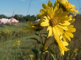 Yellow prairie flower with red and white striped tent in background.