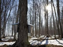 Buckets for collection on sugar maple trees