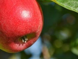 A photo of a ripe red apple hanging on a tree.