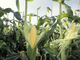 A photo of an ear of corn on the cob growing on a stalk in the field, husked half way down showing a rip, yellow ear of corn. Photo by Thinkstock