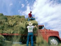 Photo of a man in jeans and a white t-shirt taking hay off a red truck loaded with hay.