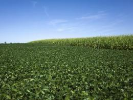 Photo of a field with green soybean plants growing towards the front and mature corn in the back.