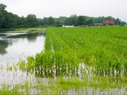 Photo of a corn field with standing water. Photo by Thinkstock