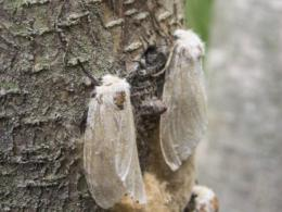 Photo of a male and female white gypsy month beside each other on a tree trunk.