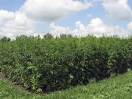Photo of mature green hemp plants in a field