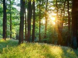 A photo of a forest with tall trees with sunlight shinging through the canopy. Photo by I Stock